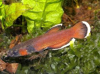 Kampffische for Kampffisch futter